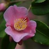 동백.애기향동백.홑꽃.예쁜핑크색.작은귀여운형의꽃.포트지름12cm.상태굿.아주좋은상품.인기상품.|