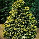 황금편백 - 피톤치드 공기정화 정원 조경 경계수 포인트 나무 묘목 포트 variegated