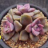 퍼플딜라이트|Graptopetalum Purple Delight