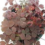 사랑초(쿠퍼글로우,쵸코)|