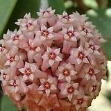 호야.파라시티카 러브(분홍색별사탕모양꽃).꽃색깔예뻐요.잎모양이 하트형 예뻐요.향기좋은향.인테리어효과.공기정화식물.|