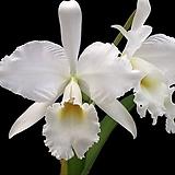 카틀레야원종.18번.라비아타 알바.예쁜흰색.순수백색.꽃모양큰편..꽃모양시원시원한형.아주좋은향.고급종.상태굿.귀한품종.~|