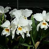 카틀레야원종.18번.라비아타 알바.예쁜흰색.순수백색.꽃모양큰편..꽃모양시원시원한형.아주좋은향.고급종.상태굿.귀한품종.|Echeveria Alba Beauty