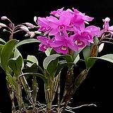 카틀레야원종.35번.스키네리.예쁜진한핑크색의붉은립프의흰색.꽃모양특이함.꽃모양큰편..꽃모양시원시원한형.아주좋은향.고급종.상태굿.귀한품종.~|