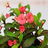 도희씨네 정원>> 신품종 가시없는 꽃기린 빨강 090|