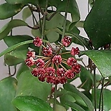 호야.루카드데시아나 (빨강브라운색).꽃색깔예뻐요.향기좋은향.인테리어효과.공기정화식물.잎모양도 예뻐요.|