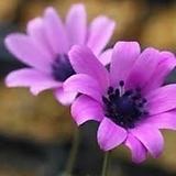 별피기바람꽃|