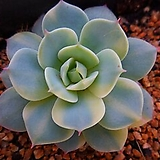 블루에뜨금6346|Echeveria peacockckii bluete