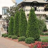울타리 묘목 특선 - 조경 정원 에메랄드그린 블루엔젤 블루애로우 문그로우 포트 특선 