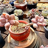묵은 아메치스|Graptopetalum amethystinum
