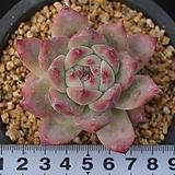 625 원종콜로라타|Echeveria colorata