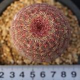 630 자태양|Echinocereus rigidissimus Purpleus
