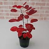 도희씨네 정원>> 정원수로 사랑받는 자엽 안개나무 169|
