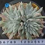 647 카에스피토사|Echeveria agavoides var. caespitosa
