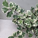 스윗하트/반음지/공기정화식물|