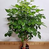 [특M]녹보수 목대 2020 새상품/인테리어 화분/공기정화에 탁월한 고급 식물|