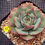 핑크팁스|Echeveria Pink Tips