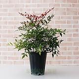 도희씨네 정원>> 단풍이 예쁜 남천나무 중형 190|