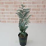 [도희씨네 정원] 청량한 편백 반벨츠 블루 250|