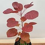 [진아플라워] 가을의 정취를 물씬 풍기는 자엽안개나무 169|