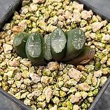 옥선-985(실생. 대형종)|Haworthia truncata