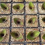 마쏘니아 사랑초(선별배송)|Massonia pustulate