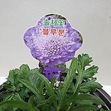 솔채꽃/블루문/노지월동|