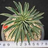 667 괴마옥|Euphorbia hypogaea