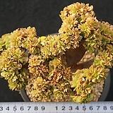 682 청법사철화|Aeonium arboreum