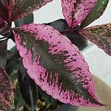 홍공자(만냥금)|variegated