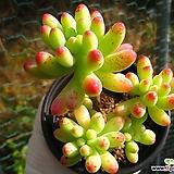 을려심1027-1|sedum pachyphyllum