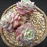 레드문 1027|Echeveria Redmoon
