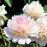 겹꽃개량작약 엘러티 뿌리묘 특묘|