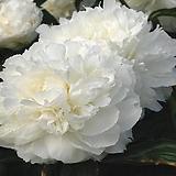 겹꽃개량작약 켈웨이스 글로리 뿌리묘 특묘|