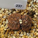 네오할리 ssp. 237|