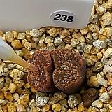 네오할리 ssp. 238|