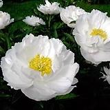 겹꽃개량작약 미스아메리카 뿌리묘|