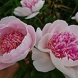 겹꽃개량작약 두텔 뿌리묘 특묘|
