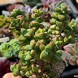 원종애성(브레비폴리아) 4|Crassula Brevifolia