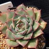 핑크팁스 13|Echeveria Pink Tips