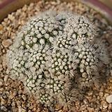 눈꽃선인장 1028-11|Mammillaria gracilis cv.