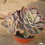 핑크베라 1028-70|Echeveria Pink Vera