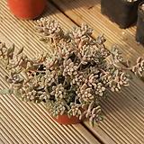 베라하긴스합식 1028-78|Graptopetalum Mirinae