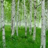 백자작나무 키100cm내외 트레이묘(5개묶음) 가림원예조경|