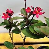 마타피아(한목대) 꽃이 계속피고지고해요  (생명력 좋아요) |
