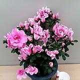 아잘레아 캘리포니아 썬셋(꽃대수형)|