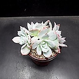 백봉x파랑새|Echeveria Blue bird