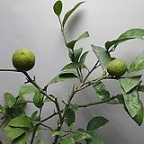 오렌지나무/실물배송3|