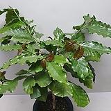 커피나무/향기꽃/실물배송|