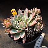 바이올렛퀸 521028|Echeveria Violet Queen